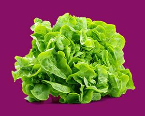 кочана салата латук